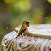 At the fountain - Allen's Hummingbird