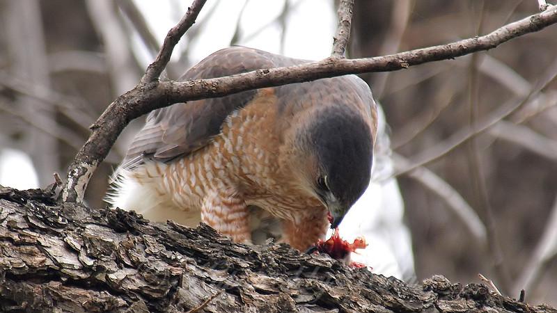 Mama Cooper's Hawk Enjoying Her Gift View 3