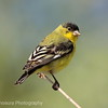 Male Green-backed Lesser Goldfinch; Los Alamos, New Mexico