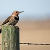 Northern Flicker - Manitoba
