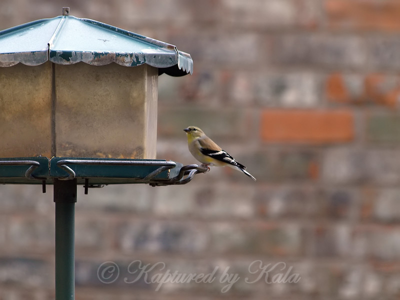 Goldfinch At My Pole Feeder View 1