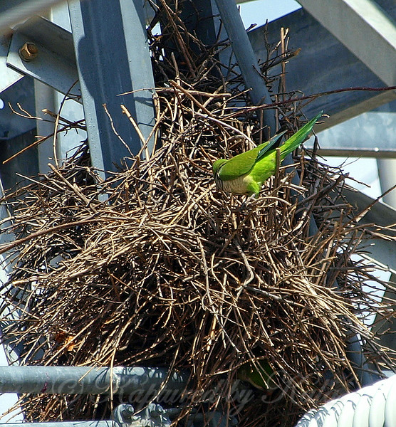 Quaker Parrot/Monk Parakeet  View 6 of 7