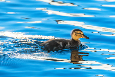 Mallard duckling on an early morning swim