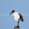 Threskiornis ethiopicus-African sacred ibis 1