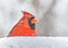 Male  Cardinal in a January snow storm