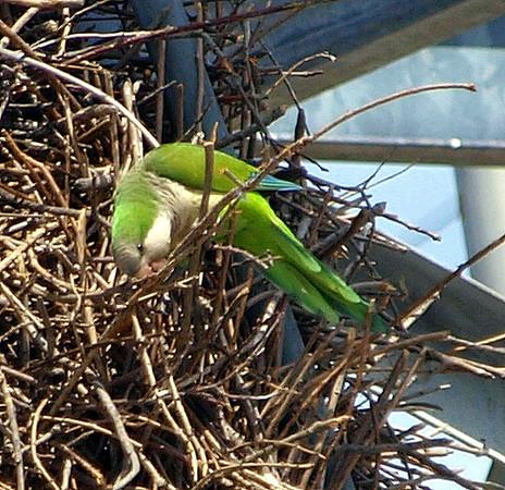 Quaker Parrot/Monk Parakeet  View 1 of 7