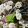 A Himalayan Beauty Bird / Гималайская красотка
