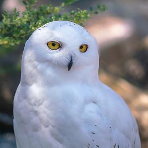 Snowy owl (Bubo scandiacus | Schnee-Eule)