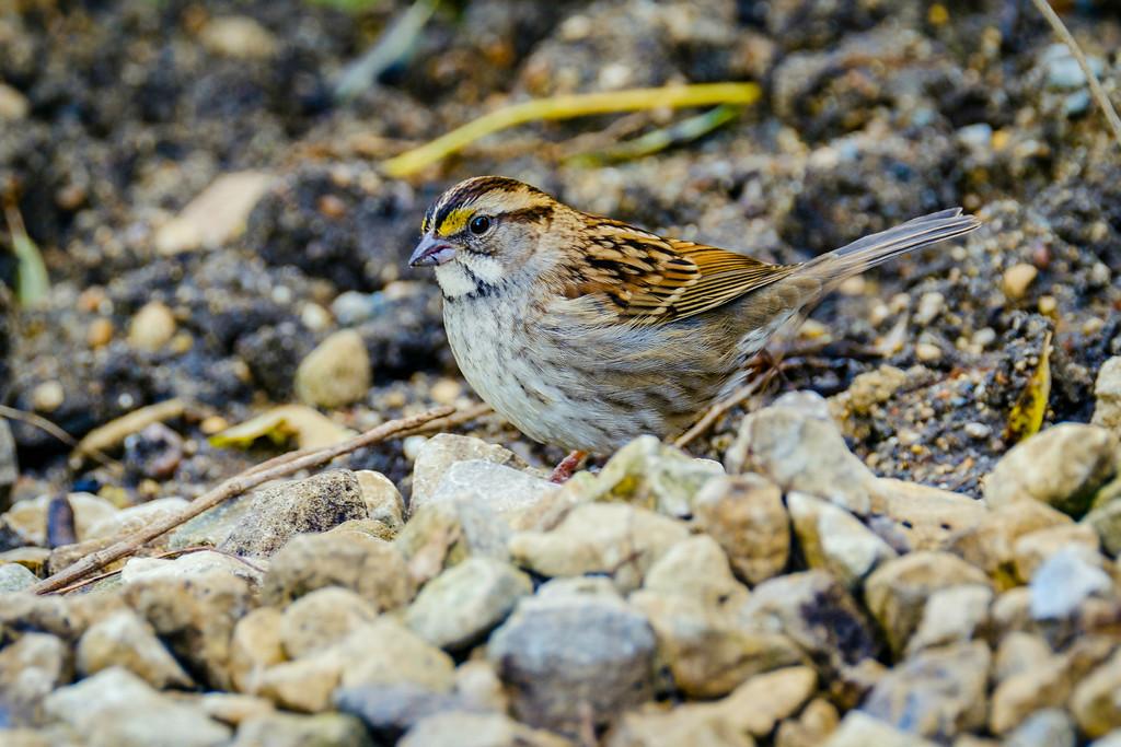 White throated sparrow, Zonotrichia albicollis