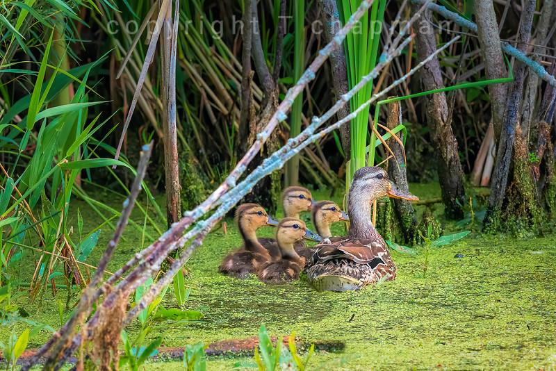 Proud Mother Duck