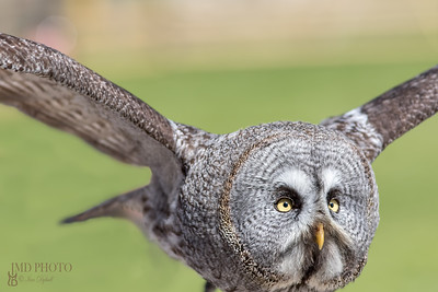Great grey owl. Close up of facial disc in flight
