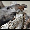 Song Sparrow and Driftwood