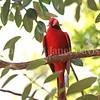 Cardinalis cardinalis – Northern cardinal 2