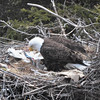 Bald Eagle with chicks