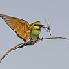 Rainbow Bee-eater landing with a Dragonfly, Federation Walk, Gold Coast, Queensland.