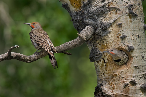 Red-shafted Flicker nest