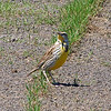 Western Or Eastern Meadowlark View 2