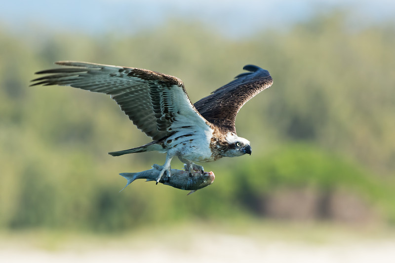 Eastern Osprey with a Fish,  Broadwater, Gold Coast, QLD.