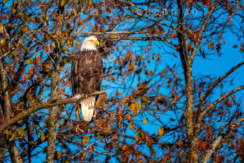 Late Fall Eagle