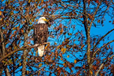 Late Fall Eagle