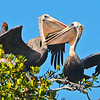 Two Brown Pelicans.