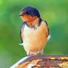 Mama Barn Swallow Nearby With No Food For Babies