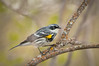 Yellowrumped Warbler, Setophaga coronata