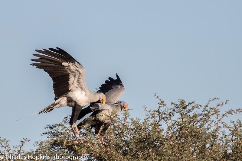 Nesting pair of Secretary birds