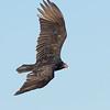 Turkey Vulture (Cathartes aura)_.jpg