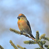 Red Crossbill, male