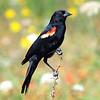 Beautiful Male Red-Winged Blackbird