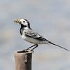 Pied Wagtail with beak full of Insects 2