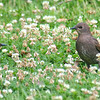 Baby Starlings in Clover