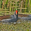 Two Common Moorhens in their natural habitat.