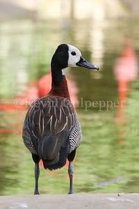 Whitefaced Whistling Duck