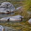 American Dipper (aka Water Ouzel)