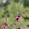 Spinus tristis – American goldfinch on Echinacea 5
