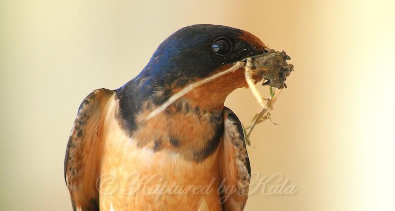 Portrait Of A Male Barn Swallow