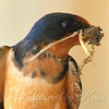Portrait Of A Male Barn Swallow