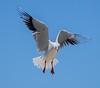 Seagull 14