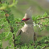 Urocolius macrourus-Blue naped mousebird 3