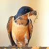 Male Barn Swallow With Nesting Material