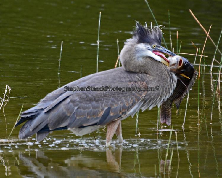 Great Blue Heron feeding.