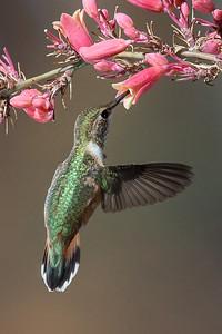 Rufous Hummingbird, Santa Fe, NM