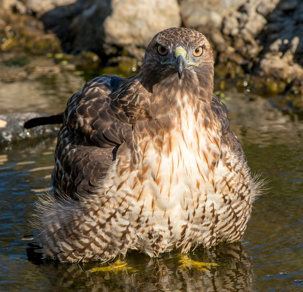 Red Tailed Hawk bathing