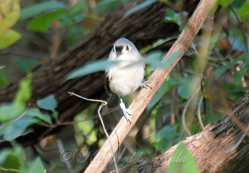Banded Tufted Titmouse At The Heard