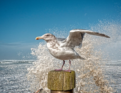 Splash Gull