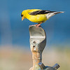 American Goldfinch on a water fountain