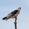 Black-shouldered Kite aka Black-winged Kite