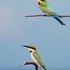 Male and Female<br /> Rainbow Bee Eaters.<br /> Bryon Bay. NSW.